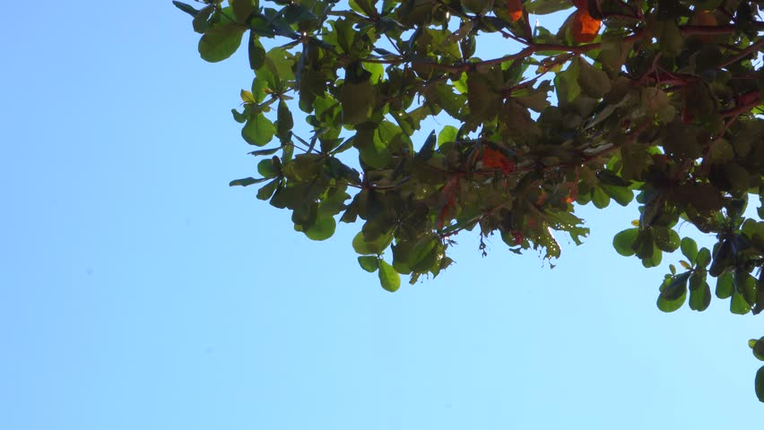 tropical green tree leaves on blue sky on summer holiday