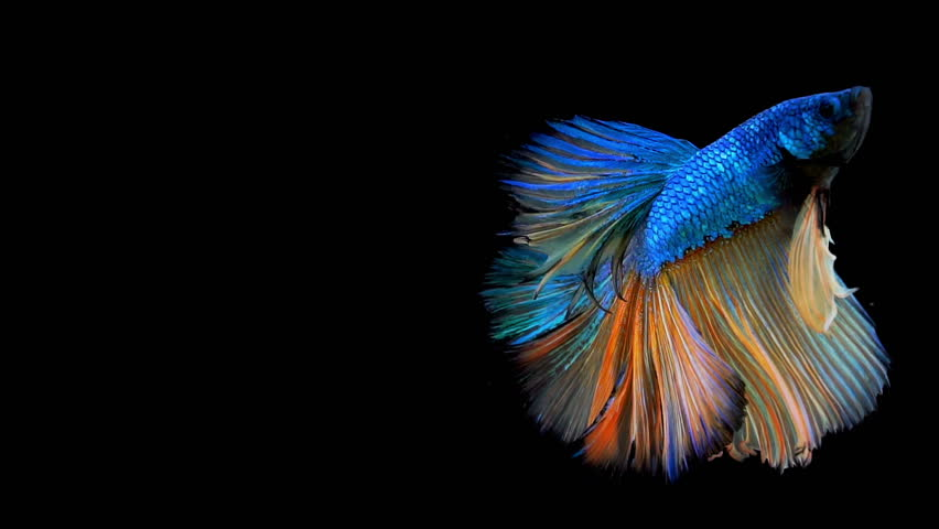 The colorful Siamese Half Moon Fighting Fish Betta Splendens, also known as Thai Fighting Fish or betta, is a species in the gourami family which is popular as an aquarium fish