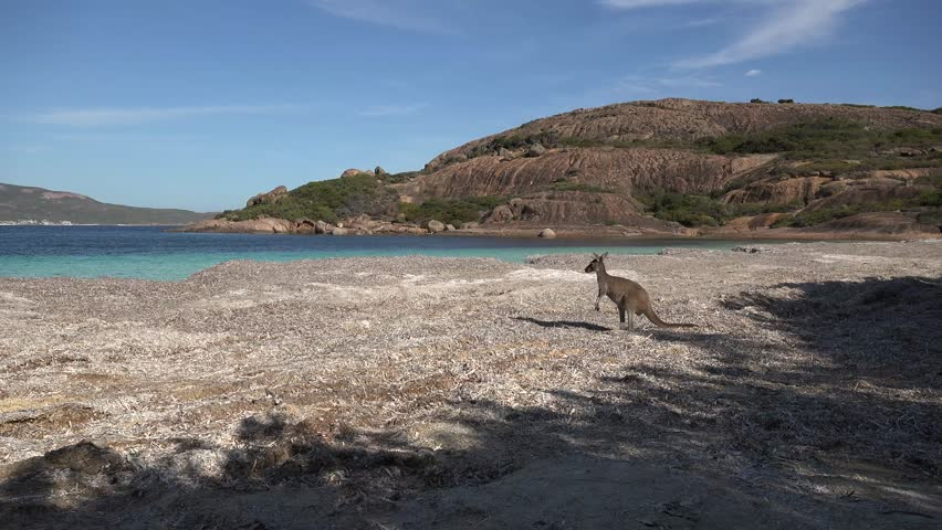 Kangaroo forages on beach with blue water in the background close
