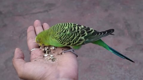 Small lovely Budgerigar Parrot (Melopsittacus undulatus) eating seed  in lady hand.
