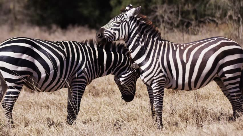 Zebra in the wild Africa Mombasa