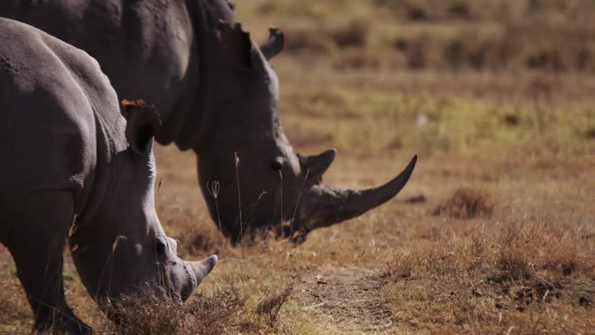 Rhino in the wild Africa / Mombasa / Kenya Wildlife