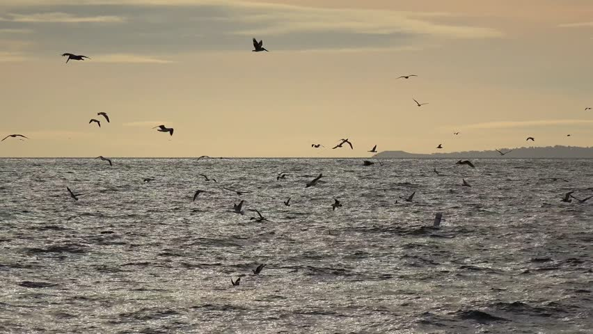 Flock of seabirds is fishing near at the Santa Monica Pier at sunset. Los Angeles, California, USA