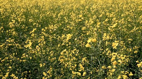Yellow canola field. Production of biodiesel from rape