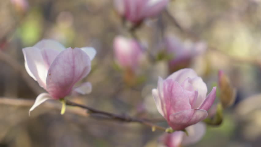 Large Magnolia Flowers Close Up Gentle Stock Footage Video 100
