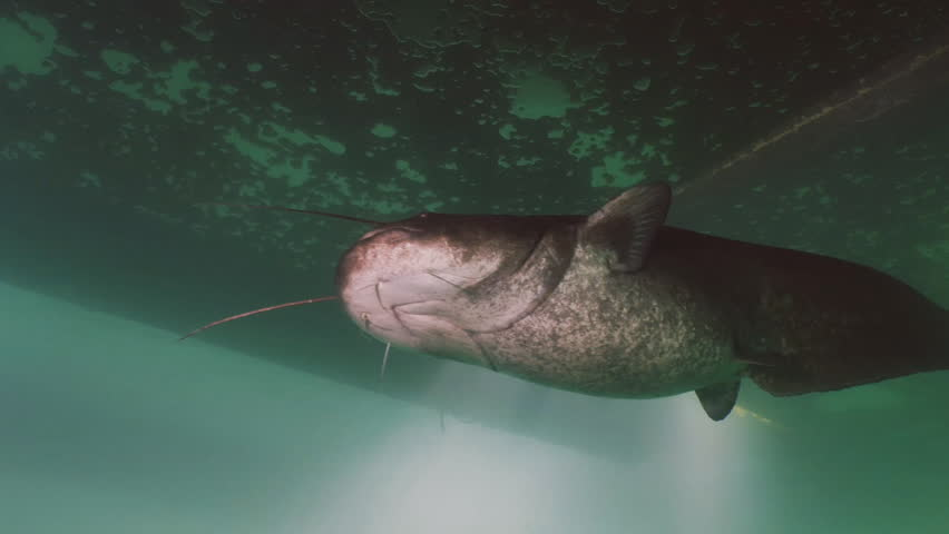 Low angle portrait shot of big Wels Catfish, under water clip