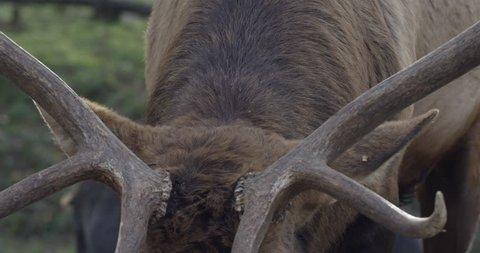 Large male deer buck walks towards camera - close up on antlers