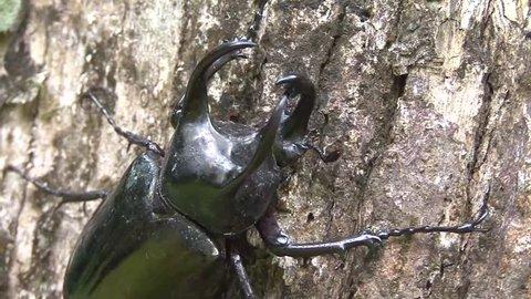 Rhinoceros Beetle male move slowly on big lowland rainforest tree trunk portrait