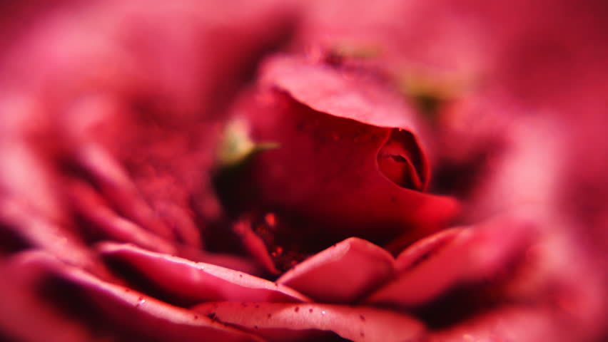 Roses heads. Red roses. Lush rose bud. Soft color roses background. Clitoris.