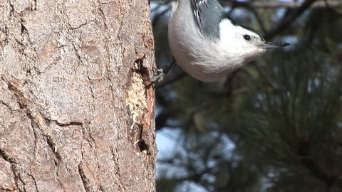 White-breasted Nuthatch Adult Lone Eating in Winter Cavity in South Dakota