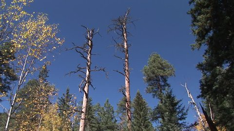 Ponderosa Pine Dead Dying Snag Snags in South Dakota