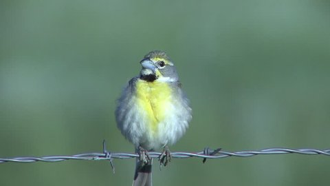 Dickcissel Male Adult Lone Calling Singing Song in Summer Barbed Wire Barb-wire Fence in South Dakota