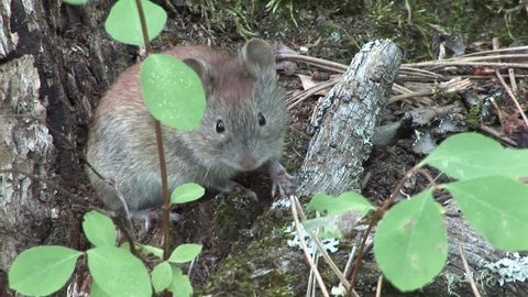 Red-backed Vole Adult Lone Alarmed Frightened Running in Summer in South Dakota