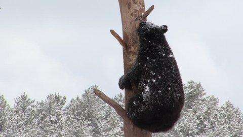 Black Bear Immature Lone Climbing in Winter Snow Tree Snag