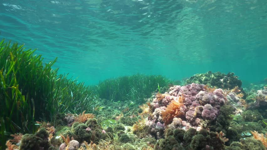 Shallow seabed with seaweeds and Posidonia oceanica seagrass underwater in the Mediterranean sea in spring, natural light, Costa Brava, Catalonia, Spain