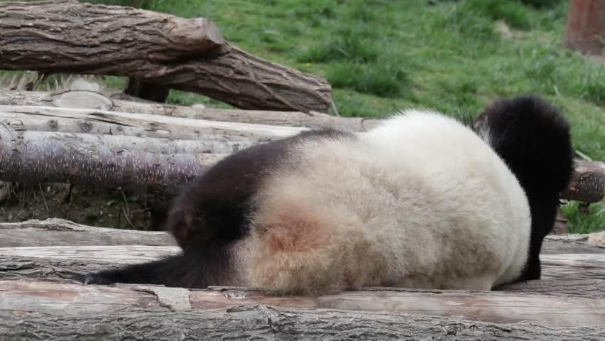 Sleepy Giant Panda Scratches his leg , very funny. | Shutterstock HD Video #1011442508