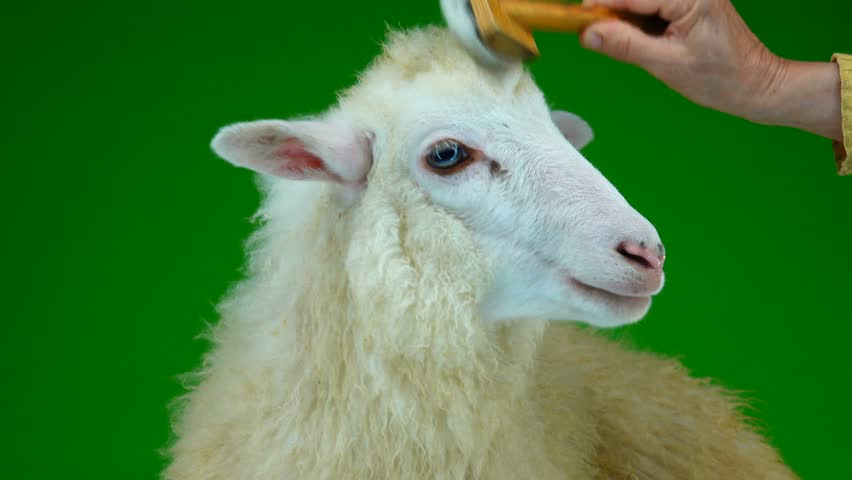 Preparation for photography, combing sheep on the green screen   Shutterstock HD Video #1011465428