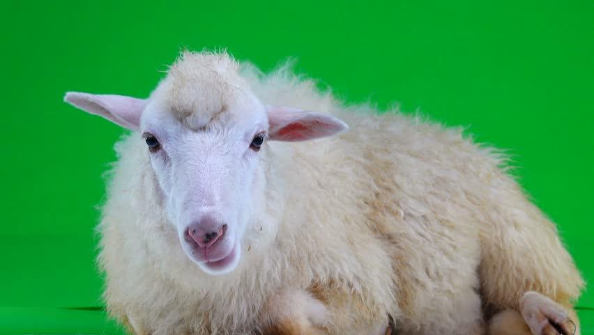 Sheep lies and chews on the green screen   Shutterstock HD Video #1011465488