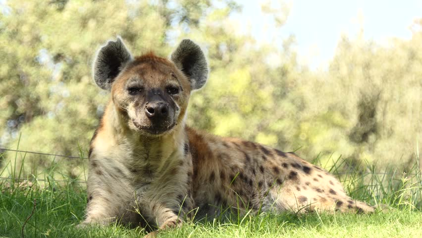 Spotted hyena (Crocuta crocuta), laughing hyena, is species of hyena, sole member of genus Crocuta, native to Sub-Saharan Africa. It is largest known member of Hyaenidae.