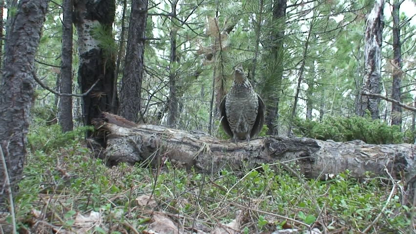 Ruffed Grouse Male Adult Lone Breeding Drumming Courtship Display in Spring in South Dakota