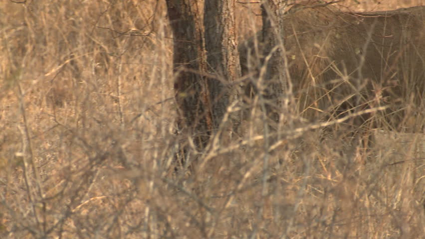 African Lion Female Lone Walking Dry Season in South Africa   Shutterstock HD Video #1011489158