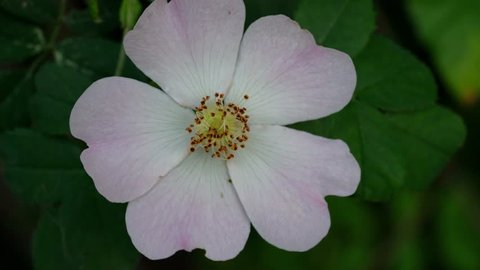 Wild Rose on a breeze