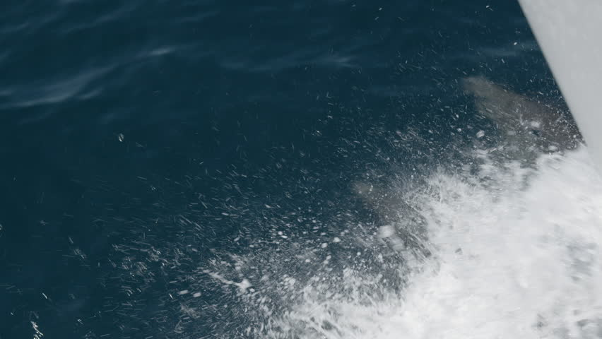 Three dolphins swimming underneath boat in slow motion | Shutterstock HD Video #1011559958