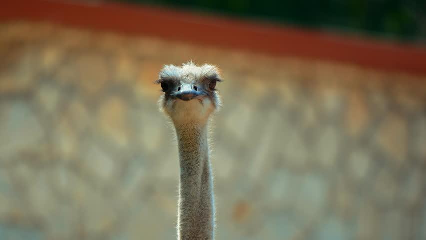 Close-up video of an Ostrich