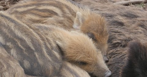 Wild piglets sleeping together in a pile close up. The stomachs moves up and down as they sleep soundly.