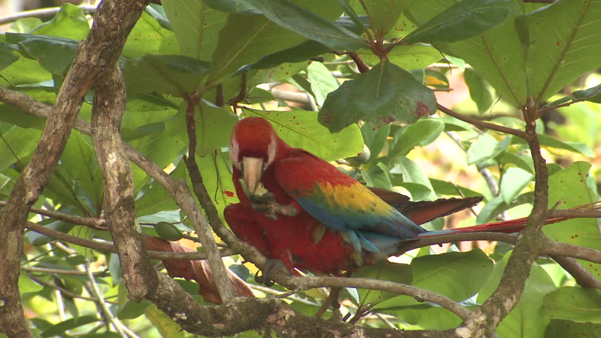 Scarlet Macaw Lone Eating in Costa Rica