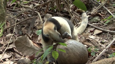 Tamandua Adult Lone Eating Northern in Costa Rica