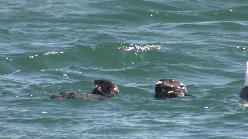 Sea Otter Female Adult Young Pair Otters Eating Oyser Clam Mussel Shellfish in California