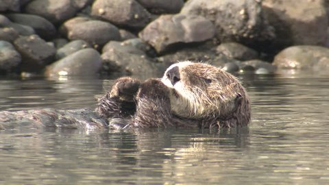 Sea Otter Male Adult Pair Otters Face Whiskers in California