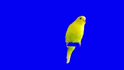 A parrot stands on a branch. Chroma Key