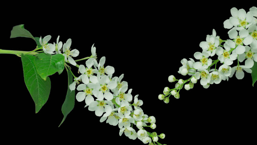 Bird-cherry flower blooming. 4k time lapse, with alpha channel (alpha with black background).