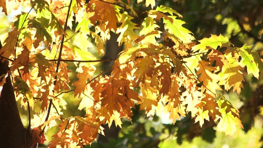 Oak tree, blowing wind. Autumn oak leaves, close up.