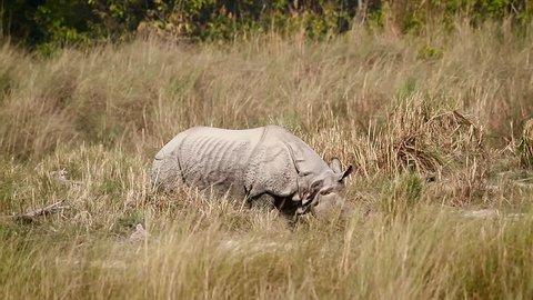 Greater One-horned Rhinoceros in Bardia national park, Nepal - specie Rhinoceros unicornis family of Rhinocerotidae