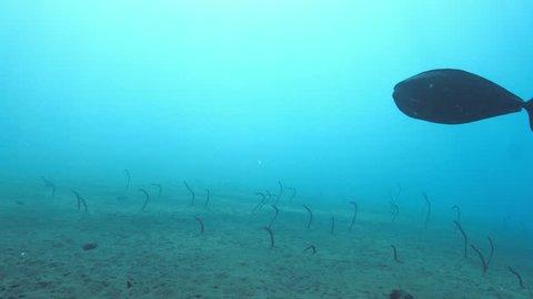Spotted Garden Eel also known as Gorgasia sillneri in natural habitat on sandy bottom snatching the passing plankton. Group of Ocean garden eels, Indo-Pacific garden eel in Indian ocean, Bali