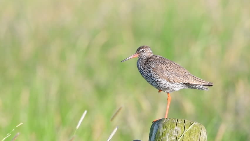 Redshank or Common Redshank sitting on a pole overlooking a meadow during a springtime day. #1012064018