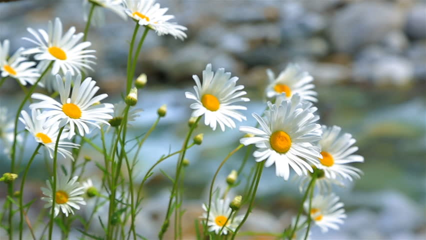 Marguerites in the wind with mountain river in background.