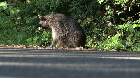 A wild Raccoon (Procyon lotor) sits by the side of a road waiting for motorists to feed him. Feeding wildlife is against the law in many states, as it can be dangerous for both people and animals.