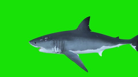 White Shark Swim Left Right Green Screen 3D Rendering Animations