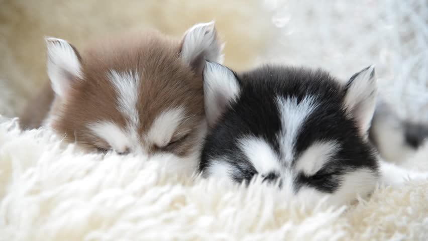 Cute Siberian Husky Puppies Sleeping Stock Footage Video 100