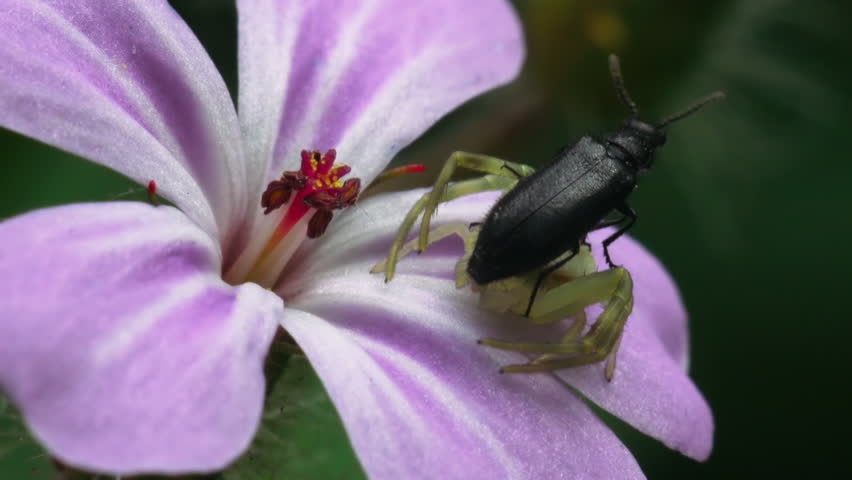Small spider-crab fights with a black beetle on a pink flower. Macro footage.