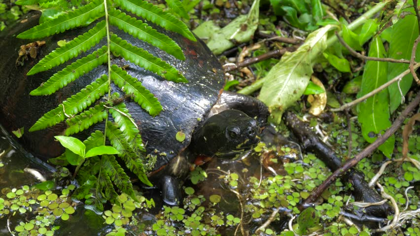 Freshwater turtle in a natural habitat. Eastern River Cooter Turtle. Freshwater turtles in the swampy terrain of Florida. River Cooter Turtle (Pseudemys concinna) top view close up 4k resolution.