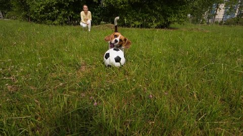 Girl throw soccer ball towards camera, beagle run after and catch it, slowmotion shot. Owner woman play with young dog at green park, doggy rush and grasp big toy with jaws, turn around by inertia