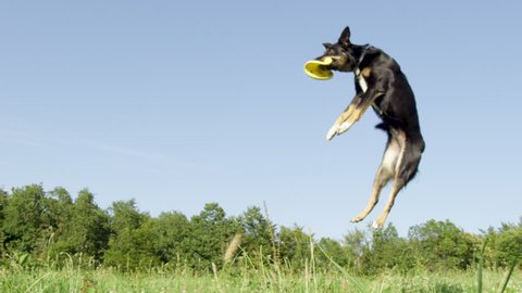 SLOW MOTION, LOW ANGLE: Energetic border collie jumps high in the air and catches a yellow throwing disc. Playful puppy with beautiful black coat catches a flying frisbee in the middle of sunny grassland.
