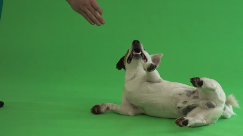 jack russell terrier somersaults on a green background