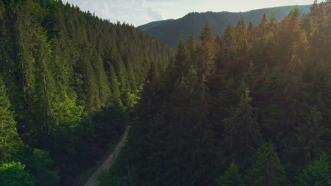 Aerial Drone View: Flight over pine tree forest and country road in sunset soft light. Mountain range in background. Nature, travel, holidays. Carpathians, Ukraine, Europe. Camera go up. 4K motion