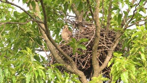 Common Kestrel, European Kestrel, Eurasian Kestrel.Hawk nest in South Korea